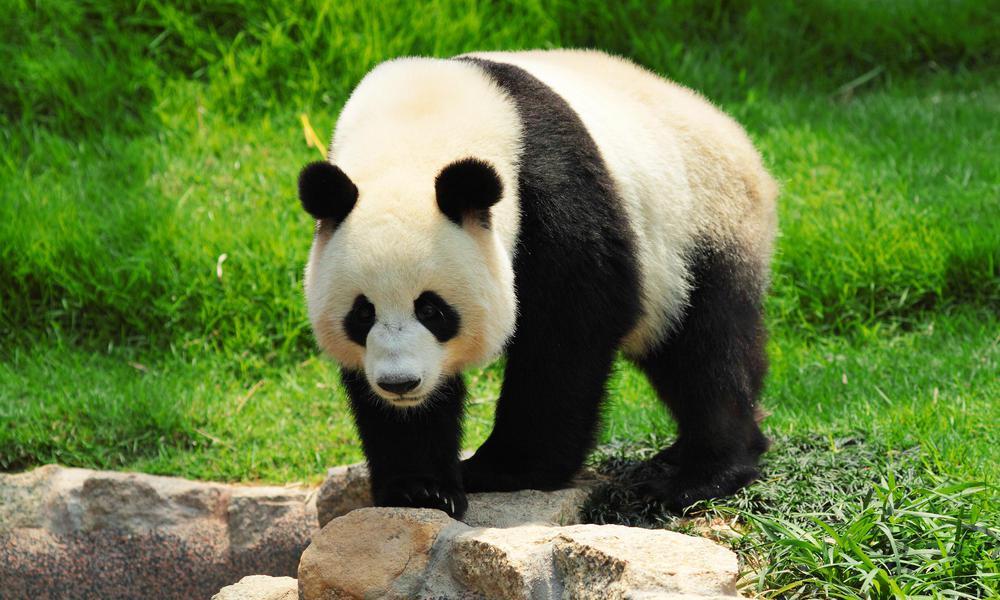 China Giant Panda 3