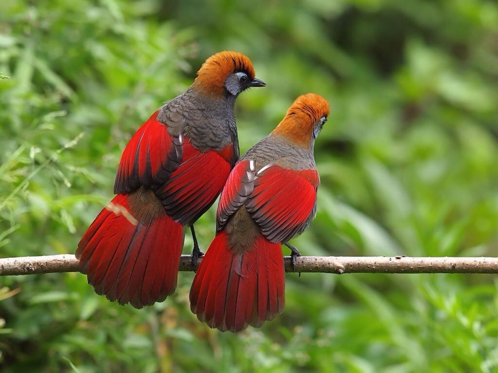 China Laughing Thrushes