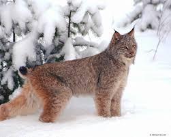 Estonia Lynx