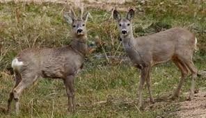 Estonia Roe Deer