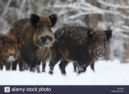 Estonia Wild Boar 2