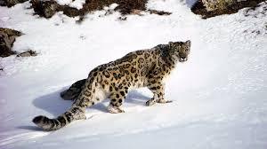 Kazakhstan Snow Leopard 1