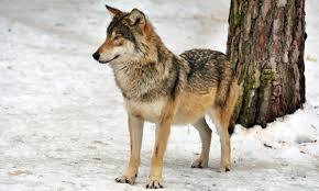 Kyrgyzstan Grey Wolf 1