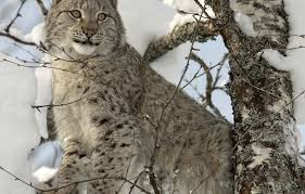 Kyrgyzstan Lynx 2