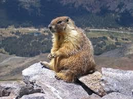 Russia Marmot 2