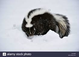 Russia Skunk 2