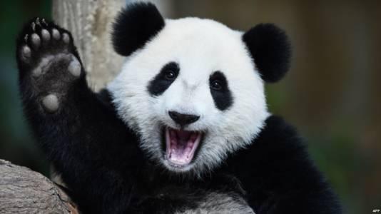China Giant Panda 1
