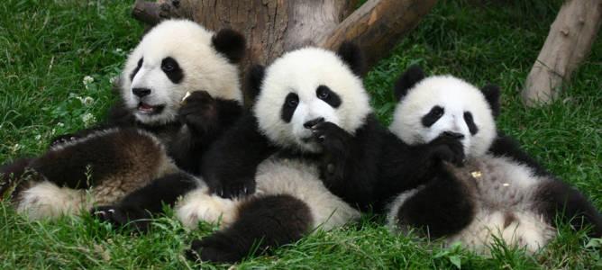 China Giant Panda 2