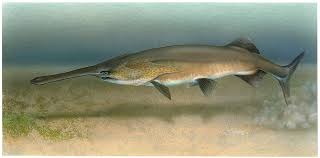 China Paddlefish