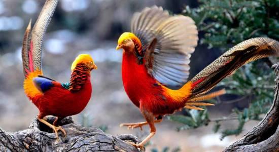 China Pheasant 1