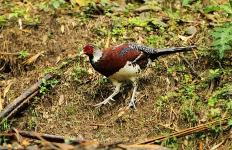 China Pheasant 3