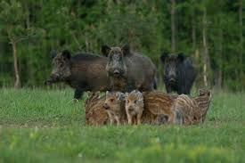 Estonia Wild Boar 1