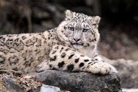 Kazakhstan Snow Leopard 2