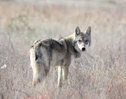 Kazakhstan Wolf