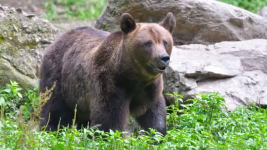 Kyrgyzstan Brown Bear
