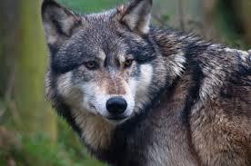 Kyrgyzstan Grey Wolf 2