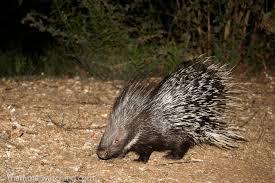 Kyrgyzstan Large Ear Hedgehog 1