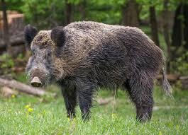 Kyrgyzstan Wild Boar 1