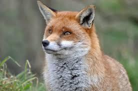 Russia Fox 2