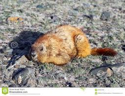 Russia Marmot 1