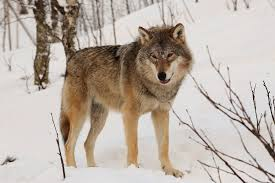 Russia Wolf 1
