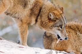 Russia Wolf 2