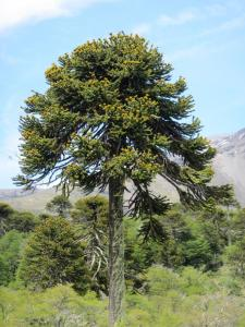 Chilean-Border-MonkeeTree